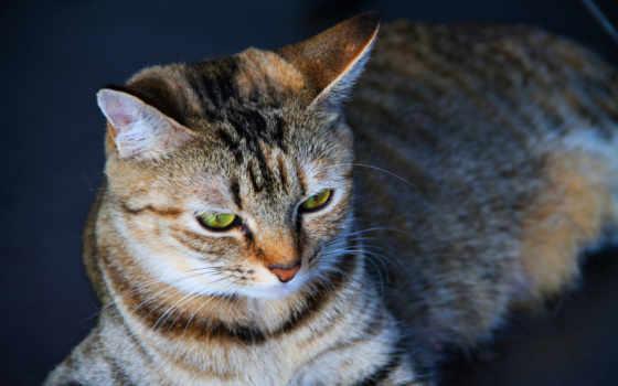 кот, kedi, duvar, kağıtları, гри, çizgili, gözler, arka, plan,