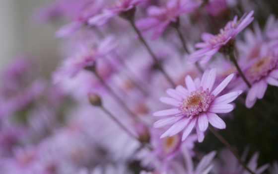 daisy, cvety, desktop, flowers, цветы, лепестки,