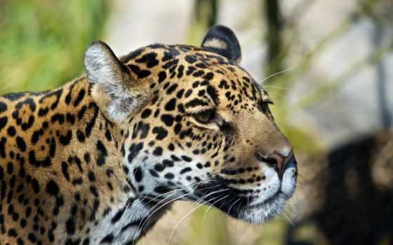 леопард, фотографий, дикими, коты, animal, дикие, кошками, мар, нам, сегодня,