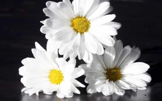 цветы, ромашки