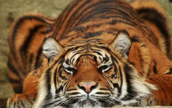 тигр, за, животные