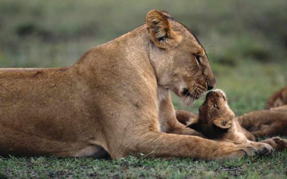 детёныш, львица, львенок, забота,