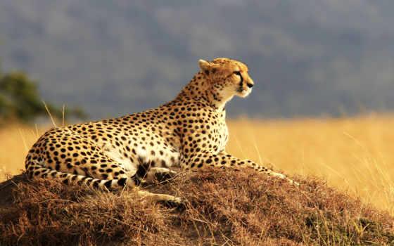 гепард, cheetahs, леопард, большие, cats,