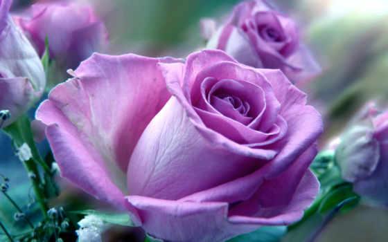 цветы, розы, роза, макро, доставка, первоцвет, весна, июнь,