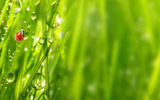 капли, роса, трава, росы, макро, божья, коровка, страница, rosa,