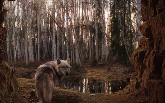 волк, лес, trees, пасмурно, березы, озеро,
