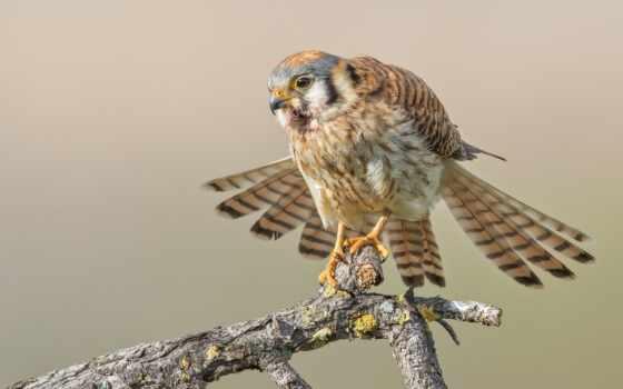 hawk, kestrel, птица, bobcat, buring, секретарь, далеко, run, хищник, клюв, американский