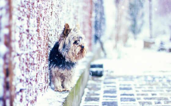 бультерьер, йоркширский, собаки Фон № 57890 разрешение 1680x1050