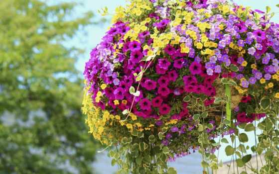петунии, petunia, цветы