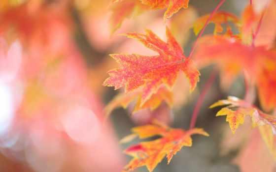 листва, осенние, branch, красные, кленовые, блики, дерево, картинка, осень, iphone,