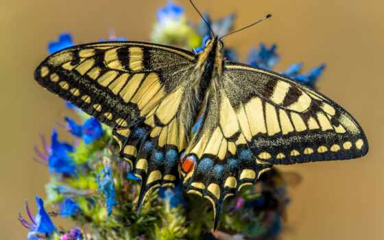 machaon, бабочка, animal, lepidopter, animalia, cerca, pantalla, gratis, closeup, swallowtail