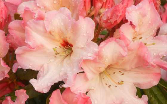 рододендрон, cvety, цветущий