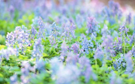 cvety, полевые, голубые, красивые,