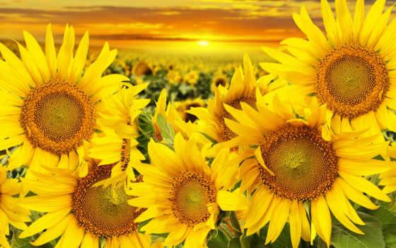 sunflowers, with, подсолнухами