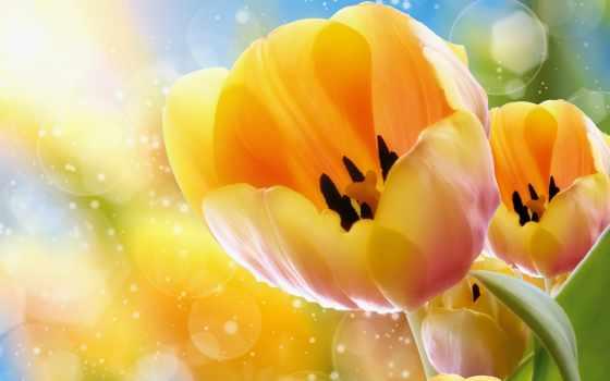 тюльпаны, цветы, бутон