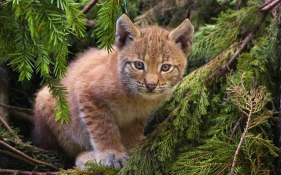 рысь, кот, хищник Фон № 107892 разрешение 2146x1341