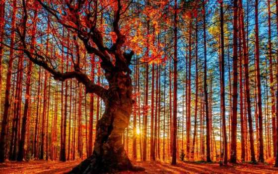 sun, лес, осень, сквозь, pine, trees, пробивается, листва, освещает, дуб,