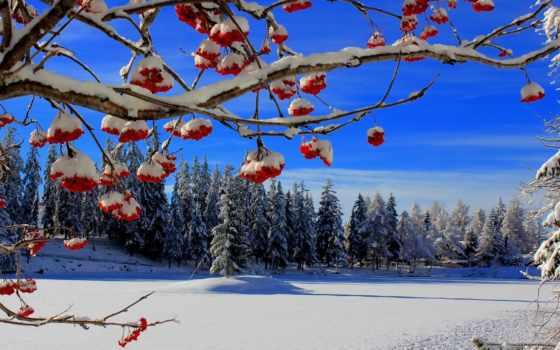 рябина, ягоды, снег