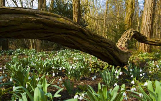 подснежники, cvety, весна, страница, природа, лес,
