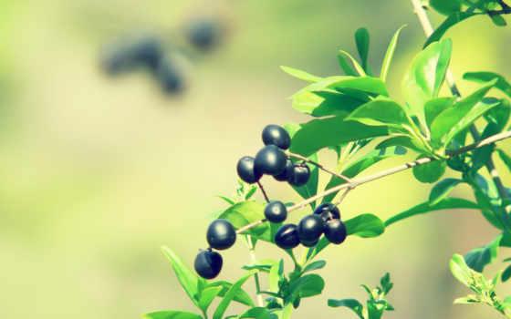 ягоды, макро, branch