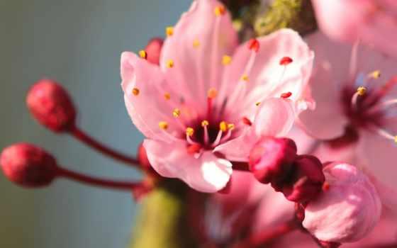 cvety, весенние, розовые, ветке,