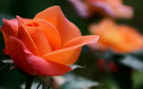 роза, pinterest, free, цветы, оранжевый,