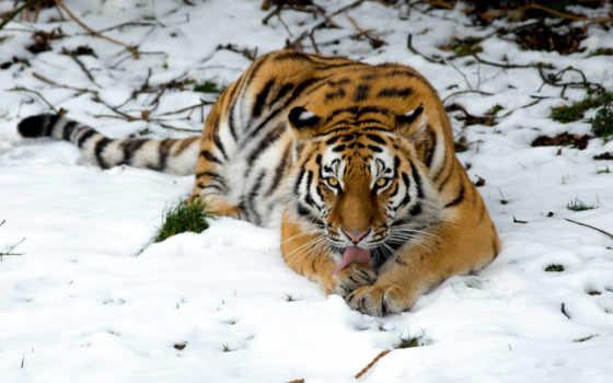 zhivotnye, тигры, самые, красивые, качественные, animals, тигр, посмотрите, кошки, deynega, анна,
