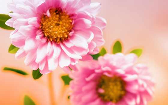розовый, цветы, цветок, фокус, plus, цвета, нетбук, fullscreen, wide, vash, оригинал