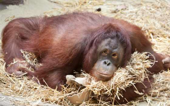 обезьяны, животные, desktop