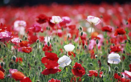 маки, цветы, поле
