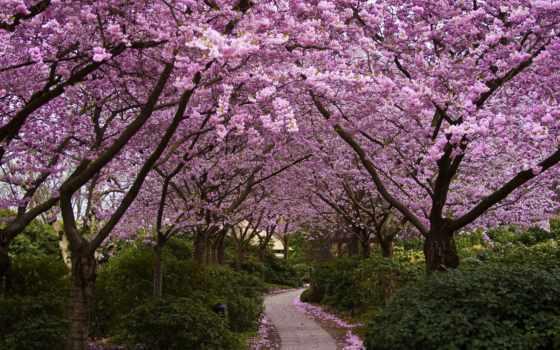 Сакура, цветы, trees, park, japanese, аллея, цветение, широкоформатные,
