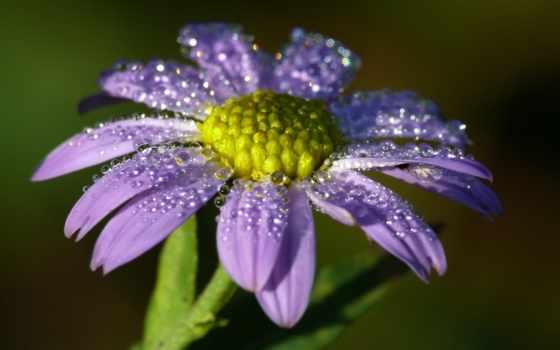сиреневый, цветы, капельках, росы, cvety, waters, цветение,