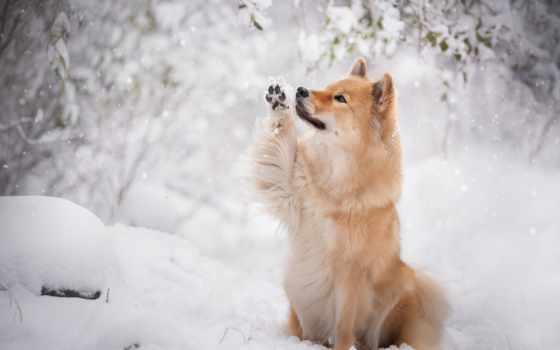 собака, картинка, eurasier, red, снег, снегопад, ветви, winter, goodfon,