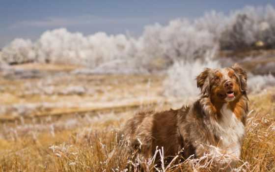 собака, поле, трава