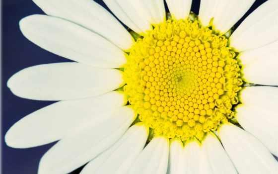 ромашка, цветы, сообщение, цитата, цитатник, community, прочитать, white