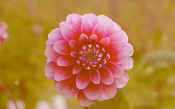 цинии, цветок
