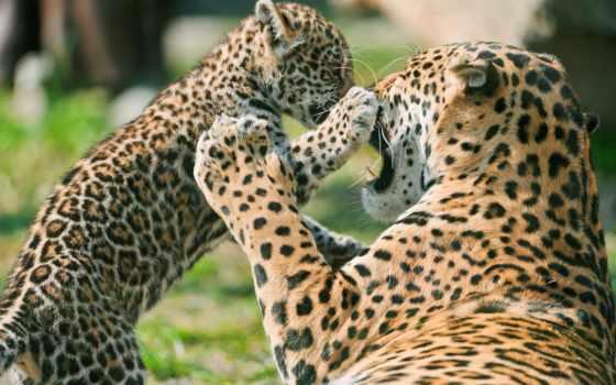 jaguar, матерью, детёныш, ягуара, pictures,