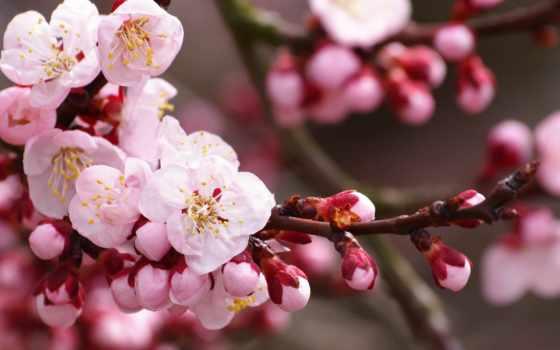 яблони, color, cvety, яблоня, бутоны, весна, branch, лепестки, freepik, цветение, ветке,