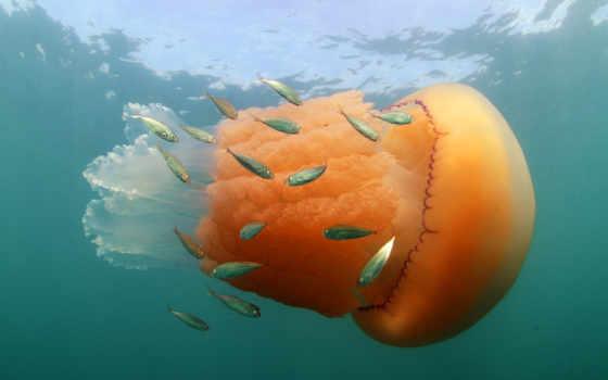 оранжевый, invertebrate, медуза, marine invertebrates, cnidaria, рыба, barrel jellyfish, jellyfish, blue jellyfish,