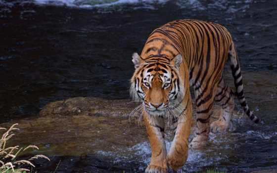 animal, тигр, water, картинка, тег, планшетный