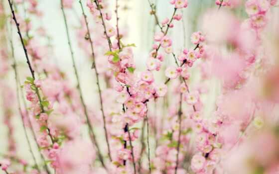 розовый, нежно, цветы