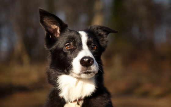 уши, собака, spotted, морда, природа, удивление, навострить,