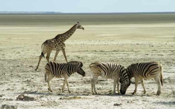 животные, african, zebra, desktop, best, widescreen,