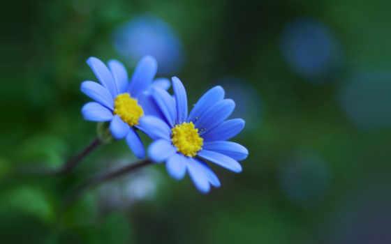 flori, odata, albastre, mai, pentru, цветы, pinterest, google, blue,