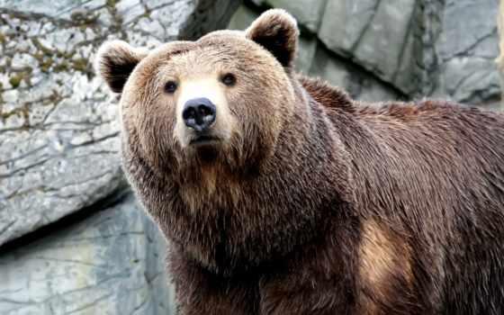 медведь, морда, лапа
