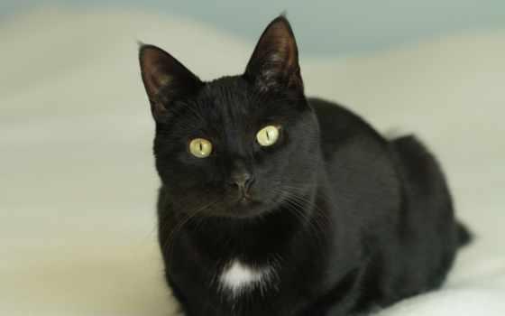 black, кот, glaza, лежит, взгляд, visits, toronto,
