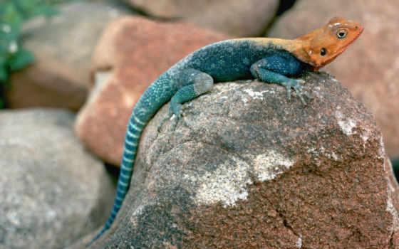 ящер, синяя, камне, iguana, you, men,