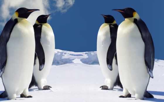pinguim, fotos, пингвинов