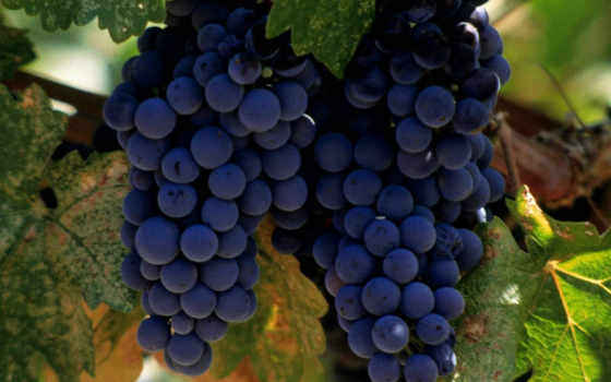 отдых, wine, виноград, grapes, üzüm, merlot, лозята, красотата, мерло,