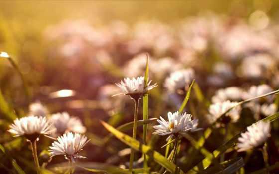 цветы, ромашки, природа